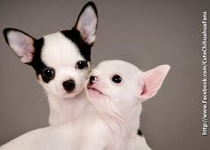 Chihuahua puppies awwww!