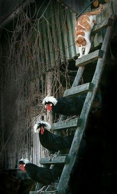 Polish chickens and barn cat-