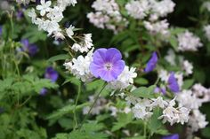 geranium-johnsons-blue.jpg 1.024×682 pixels