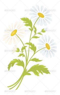 Chamomile Flowers  #GraphicRiver         Bouquet of daisies flowers isolated on a white background   Vector EPS 8 plus AI CS 5 plus high-quality Jpeg. Editable vector file, containing only vector shapes. No gradients. No transparencies.     Created: 16February13 GraphicsFilesIncluded: JPGImage #VectorEPS #AIIllustrator Layered: No MinimumAdobeCSVersion: CS5 Tags: art #background #bloom #blooming #blossom #botanic #botany #bouquet #chamomile #environment #flora #floral #flower #garden #green…