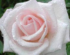 Pink Rose with a touch of pink