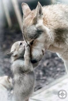 96 Best Wolves images in 2019 | Wolf, Animals, Wolf quotes