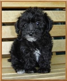 blackyorkiepoo puppy dog....cute!!! Animals