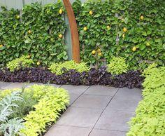 Persian garden ~ lime green grey purple leaves ~ espallier lemon tree