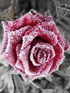 Winter rose with frost Beautiful Roses, Beautiful Flowers, Beautiful Scenery, Ronsard Rose, Frozen Rose, Frozen Heart, Winter Magic, Winter Beauty, Love Rose