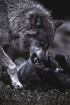Wolf Images, Wolf Photos, Wolf Pictures, Of Wolf And Man, Snarling Wolf, Canis Lupus, Bark At The Moon, Wolf Artwork, Wolf Wallpaper