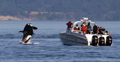 SAN JUAN ISLANDS, Wash. (AP) — Authorities say a busy boating season on Washington state's Puget Sound is crowding a resident of these waters: killer whales.