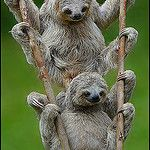 Three-toed Sloths, Costa Rica by AnimalExplorer