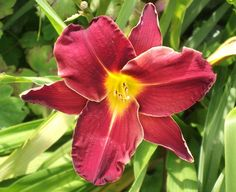 Today's #Lily Favourite in my #Garden, www.pinterest.com/annbri/