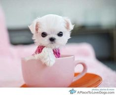 How cute is this little thing!! 1 Maltese teacup puppy please.