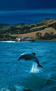 Travel Inspiration for New Zealand - Akaroa Harbour Nature Cruises - Swim with the dolphins, New Zealand