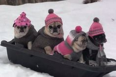 World's Cutest Toboggan Team! #pugs