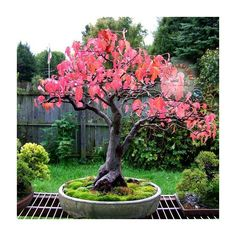 Acer tataricum flame akçaağaç tohumu bonsai