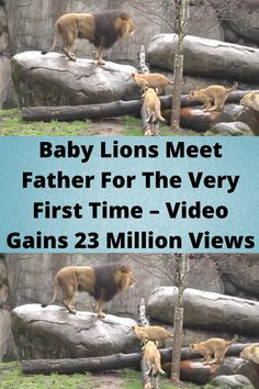#Baby Lions Meet Father For The Very #First Time – #Video Gains 23 #Million Views Baby Lions, First Time Video, Orange Eye Makeup, Cute Funny Babies, Tattoo Fails, Disney Princess Pictures, Funny Memes, Hilarious, Aesthetic Indie
