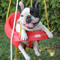 bat pig in a swing