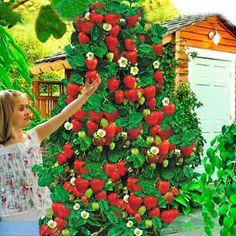 Căpşuni Urcătoare - cumpară stoloni de căpșuni de la Gradinamax.ro