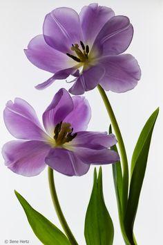 Purple Tulips Shades Of Purple, Green And Purple, Blossom Flower, Flower Art, Lavender Flowers, Beautiful Flowers, Purple Home, Purple Tulips, All Things Purple
