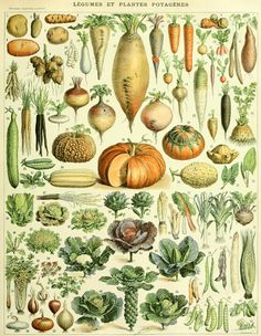 ARTEFACTS - antique images: Vegetables — for personal use only!