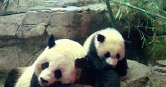 Smithsonian& National Zoo is rolling out Panda packages in partnership with area hotels. Panda Bear, Studio, Best Hotels, Doggies, Caribbean, Animals, News, Animais, Animales