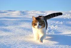 Walk snow winter cat wallpaper   1920x1300   75115   WallpaperUP
