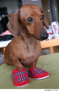 if the shoes fit.. #daschund #dog #shoes