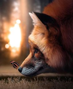 Butterfly to land on Fox! Butterfly to land on Fox! Animals And Pets, Baby Animals, Funny Animals, Cute Animals, Beautiful Creatures, Animals Beautiful, Beautiful Images, Best Friend Photos, Fox Art