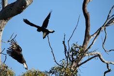 Carnaby's Cockatoos near Toodyay Western Australia