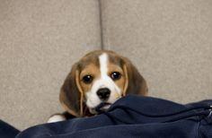 My dream dog!