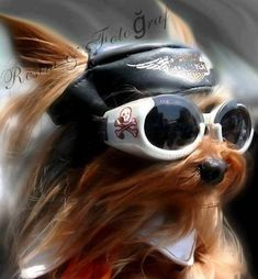 biker dog ....gotta find these glasses for the Grandpups!