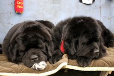 Just another show! Taking a nap is what all newfies do best!