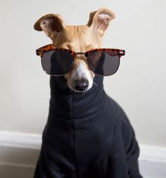 Ray Bans - Italian Greyhound