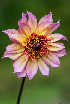 Buy anemone-flowered dahlia tuber Dahlia 'Floorinoor': Delivery by Crocus