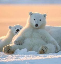 Polar bears are the largest land carnivores on the planet, equaled just by the Kodiak brown bears of southwestern Alaska. Polar bears sit at the highest point of the natural way of life in the organically rich Arctic. Nature Animals, Animals And Pets, Wild Animals, Beautiful Creatures, Animals Beautiful, Baby Polar Bears, Bear Photos, Bear Cubs, Tiger Cubs