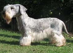 Cesky Terrier. They are members of the terrier group. They are great small-game hunters. They stand at 10-13 inches at the shoulder and weigh about 16-22 pounds.