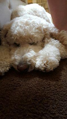 Bosley our sleepy Standard Poodle