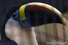 All sizes | Sad eyes behind the bars / Tristes olhos atrás das grades | Flickr - Photo Sharing! White-throated Toucan / Tucano-grande-de-papo-branco (Ramphastos tucanus)   Bird Park in Iguazu Falls - Parana Parque das Aves em Foz do Iguassu - Paraná