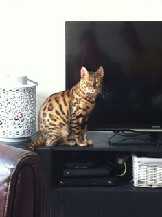 Our bengal cat