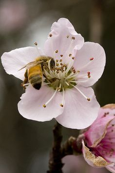 How doth the little busy bee, improve each shining hour and gather honey all the day, from every opening flower! Bees And Wasps, Birds And The Bees, Million Flowers, Buzz Bee, Bee Do, Peach Blossoms, Bee Happy, Save The Bees, Bees Knees