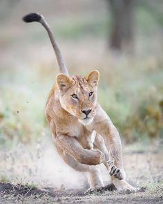 "beautiful-wildlife: "" Focused! by © wim_van_den_heever Lake Ndutu, Tanzania """