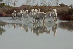 camargue horses   Camargue horses by Ann Heffron