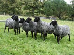 10 famous breeds of #sheep that're raised for wool fiber,meat and dairy purposes. #livestock