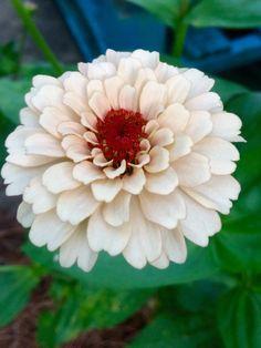 White Zinnia