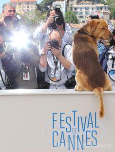 第67回カンヌ国際映画祭(Cannes Film Festival)で、「ある視点」部門出品作『Feher Isten』のフォトコールに登場した出演犬のボディ(Body、2014年5月17日撮影)。(c)AFP/LOIC VENANCE ▼25May2014AFP カンヌ映画祭のパルム・ドッグ賞、「兄弟」で受賞 http://www.afpbb.com/articles/-/3015840 #Cannes_Film_Festival_2014 #Feher_Isten