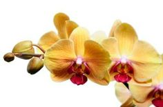 yellow orchids Phalaenopsis Orchid Care, Orchids, Yellow Orchid, Fresh Flowers, Pastel, Plants, Blog, Photography, Beautiful
