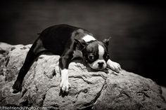 Boston Terrier Dogs Photography Seven
