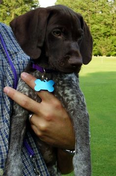 Pictures of German Shorthaired Pointer Dog Breed