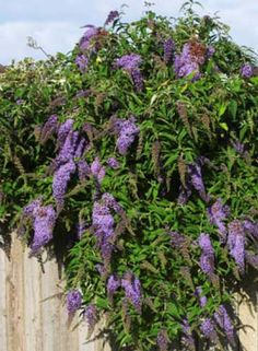 California Friendly Plant: Butterfly Bush   With Brightly Colored Flower  Cones That Drape From