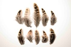 Natural Striped Pheasant Feathers - Fluffy Cream Black Brown + Tan 3-9cm UK Seller -Great for crafts, jewellery + dream catcher making!