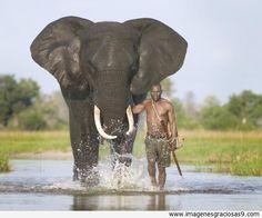 ¡Qué vida, elefante africano y conductor de elefantes!