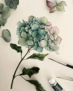 Dried hydrangea by tasamajamarina Watercolour Tutorials, Watercolor Artists, Watercolor Flowers, Watercolor Paintings, Watercolors, Botanical Flowers, Botanical Art, Plant Illustration, Watercolor Illustration